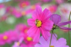 Flores rosadas con la alimentación apícola Fotografía de archivo