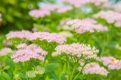 Flores rosadas con la profundidad del campo baja Fotografía de archivo