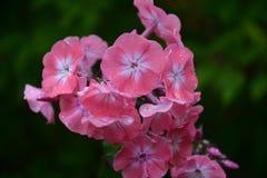 Flores rosadas con las gotas de agua Imágenes de archivo libres de regalías