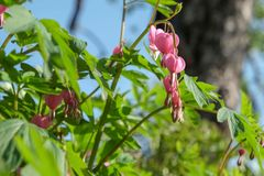 Flores rosadas con las hojas verdes foto de archivo libre de regalías