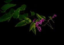 Flores rosadas con las hojas y el zarcillo verdes en forma de corazón del coral Foto de archivo libre de regalías