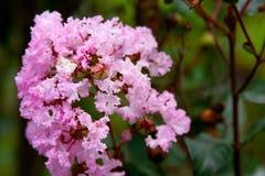 Flores rosadas con los brotes en el centro fotografía de archivo