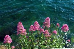 Flores rosadas contra el agua imagen de archivo libre de regalías