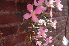 Flores rosadas contra la pared de ladrillo Foto de archivo libre de regalías