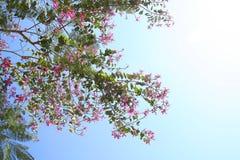 Flores rosadas de Chongkho con el cielo o árbol de orquídea rosado, árbol rosado de la mariposa imágenes de archivo libres de regalías
