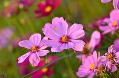 Flores rosadas de Comos imagen de archivo libre de regalías