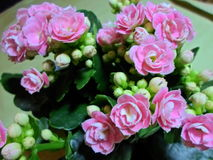 Flores rosadas de Kalanchoe Fotografía de archivo