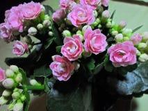 Flores rosadas de Kalanchoe Foto de archivo libre de regalías