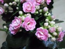 Flores rosadas de Kalanchoe Imagenes de archivo