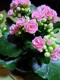 Flores rosadas de Kalanchoe Fotos de archivo libres de regalías