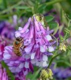 Flores rosadas de la abeja y de la hormiga Imagen de archivo libre de regalías