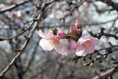 Flores rosadas de la almendra en primavera imágenes de archivo libres de regalías