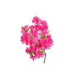 Flores rosadas de la azalea Fotos de archivo libres de regalías