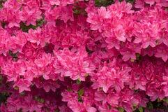Flores rosadas de la azalea Fotografía de archivo libre de regalías