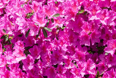 Flores rosadas de la azalea en la floración Fotos de archivo libres de regalías