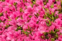 Flores rosadas de la azalea en la floración Fotografía de archivo