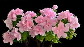 Flores rosadas de la azalea en la floración Imágenes de archivo libres de regalías