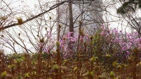 Flores rosadas de la azalea que florecen en la primavera, Seúl, Corea del Sur almacen de metraje de vídeo