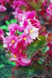 Flores rosadas de la begonia en el jardín Foto de archivo
