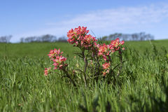 Flores rosadas de la brocha india contra horizonte azul Imágenes de archivo libres de regalías