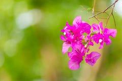 Flores rosadas de la buganvilla Fotografía de archivo libre de regalías