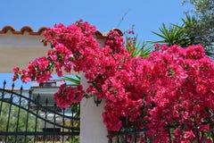 Flores rosadas de la buganvilla en una cerca Foto de archivo libre de regalías
