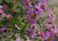 Flores rosadas de la caída de los asteres con la abeja Imagen de archivo libre de regalías
