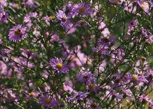 Flores rosadas de la caída de los asteres con las abejas Imagen de archivo libre de regalías
