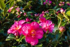 Flores rosadas de la camelia en la floración Foto de archivo