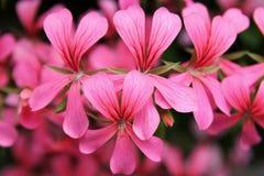 Flores rosadas de la cascada del geranio Foto de archivo