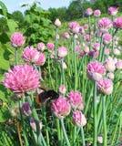 Flores rosadas de la cebolla verde Foto de archivo libre de regalías