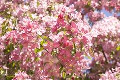 Flores rosadas de la cereza Fotos de archivo libres de regalías
