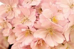 Flores rosadas de la cereza Floración de la primavera Imagen de archivo libre de regalías