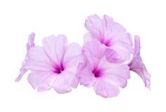 Flores rosadas de la correhuela Imagen de archivo