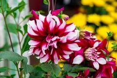 Flores rosadas de la dalia Imagen de archivo libre de regalías