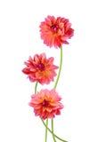 Flores rosadas de la dalia Foto de archivo libre de regalías