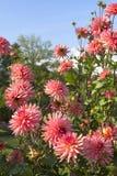Flores rosadas de la dalia Fotografía de archivo libre de regalías
