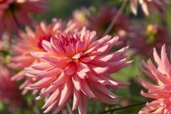 Flores rosadas de la dalia Imagen de archivo