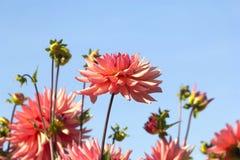 Flores rosadas de la dalia Foto de archivo