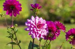 Flores rosadas de la dalia Fotos de archivo