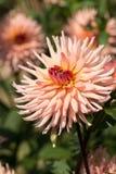 Flores rosadas de la dalia en jardín Fotos de archivo