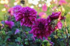 Flores rosadas de la dalia en un jardín Imagen de archivo libre de regalías