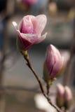 Flores rosadas de la magnolia Imagen de archivo libre de regalías