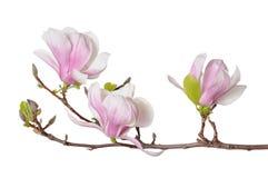Flores rosadas de la magnolia Imágenes de archivo libres de regalías