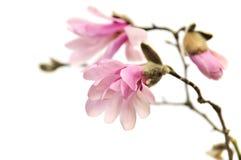 Flores rosadas de la magnolia aisladas en blanco Imágenes de archivo libres de regalías