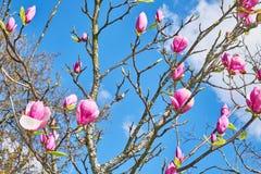 Flores rosadas de la magnolia contra el cielo azul imagen de archivo