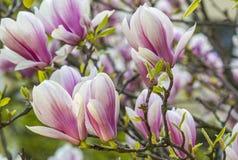 Flores rosadas de la magnolia en el jardín Imagen de archivo