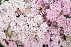 Flores rosadas de la milenrama Fotos de archivo libres de regalías