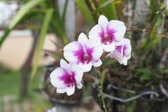 Flores rosadas de la orquídea Foto de archivo