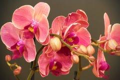 Flores rosadas de la orquídea en backround gris imagen de archivo libre de regalías